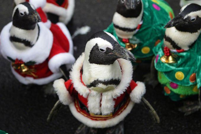 Пінгвіни прогулялися в костюмах Санта Клауса по японському парку (ВІДЕО)