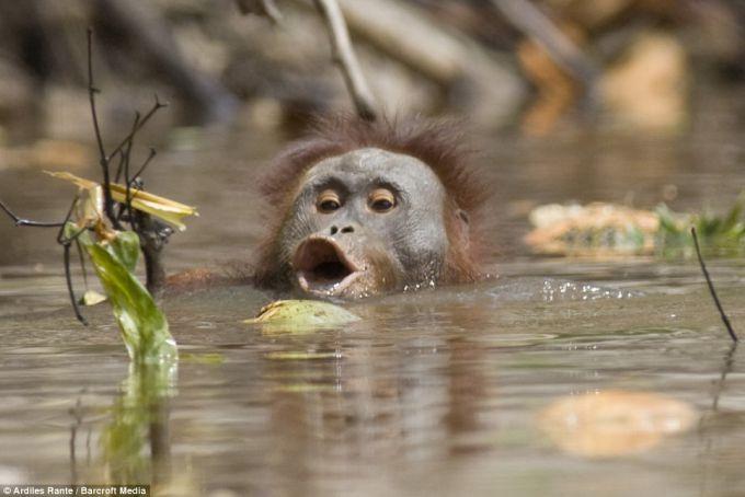 На острові Борнео від лісоких пожеж врятували 200 орангутангів (ВІДЕО)