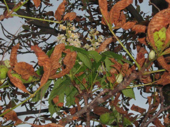 Спека в Білорусі: цвітуть каштани та яблуні (ФОТО)