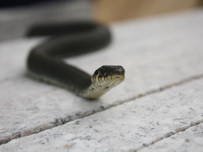 Вигнані повінню з нір змії атакують місто Біробіджан на Далекому Сході