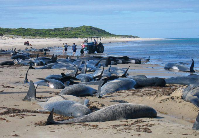 Викид дельфінів на берег в Японії -прогноз землетрусу